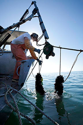 Bernard raising mussels out of the ocean off of the long line system and onto the boat